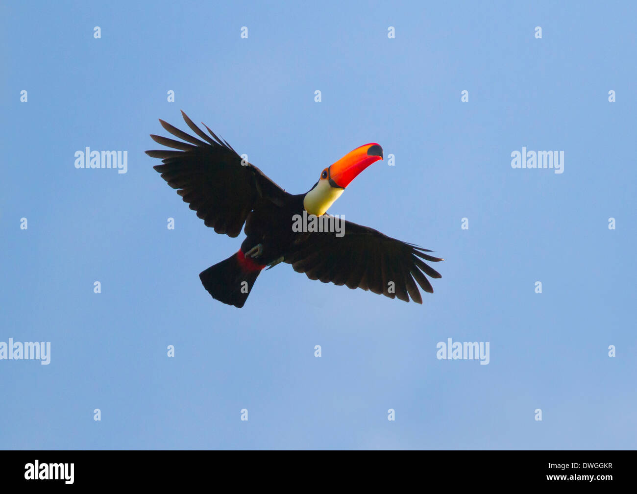 TOCO TOUCAN (Ramphastos toco) in flight, Rupununi river, Guyana, South America. - Stock Image