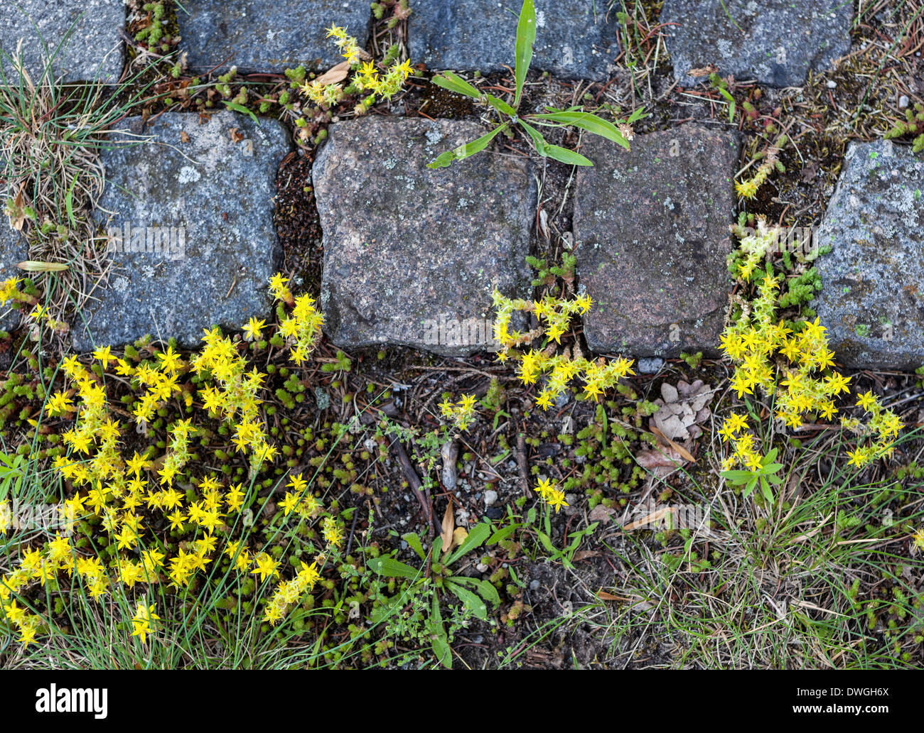Weeds paving stock photos weeds paving stock images alamy weeds and tiny yellow star shaped wild flowers growing among stone paving setts stock image mightylinksfo
