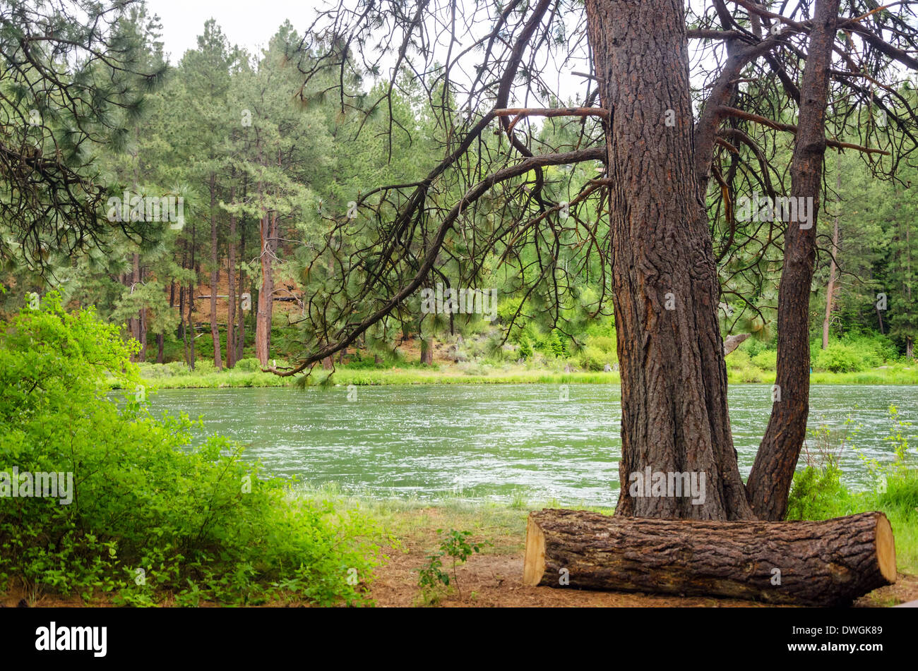 View of the Deschutes River in Central Oregon framed by a large pine tree - Stock Image