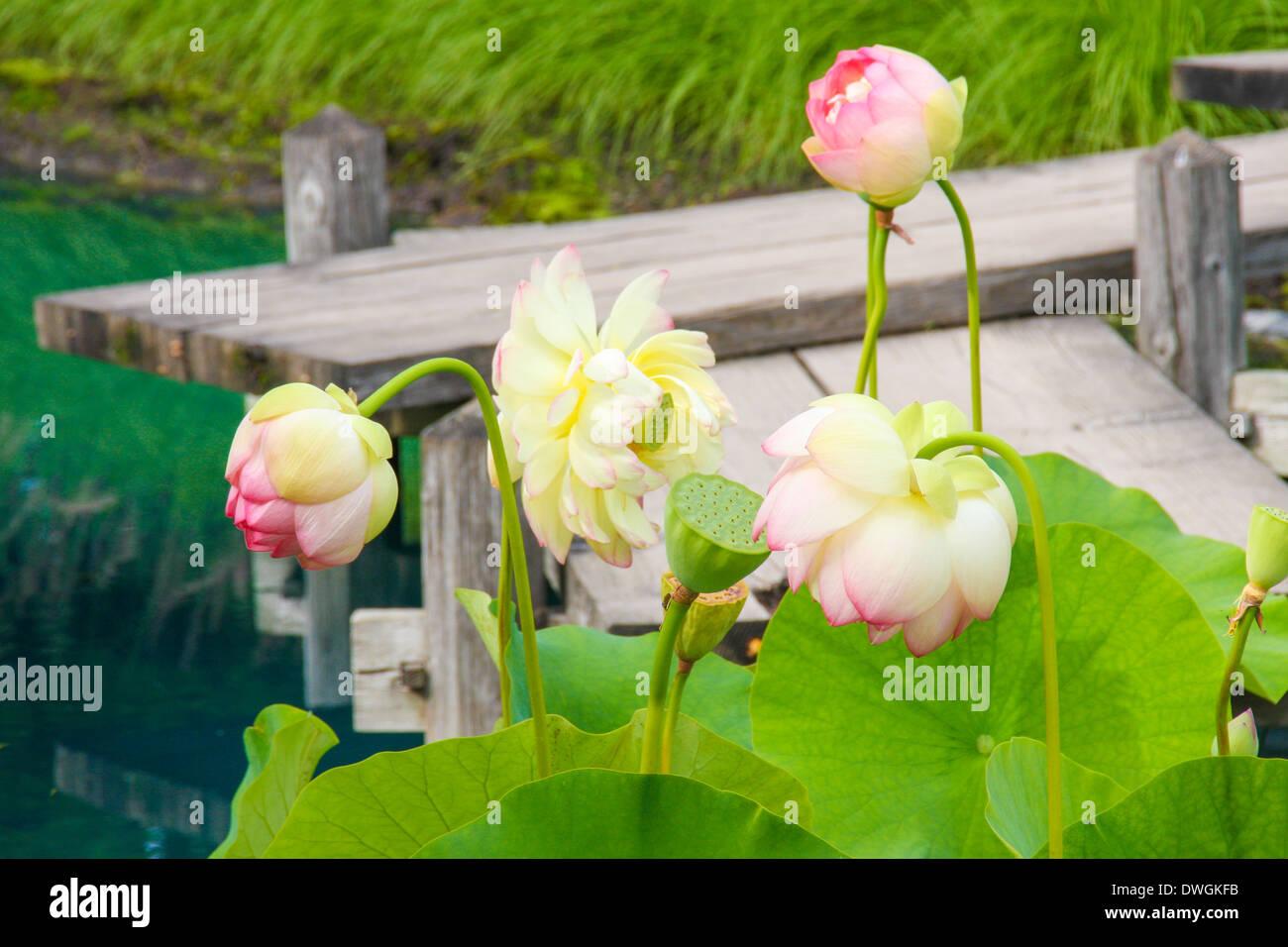 Beautiful lotus flowers stock photos beautiful lotus flowers stock beautiful lotus flowers at pond stock image izmirmasajfo