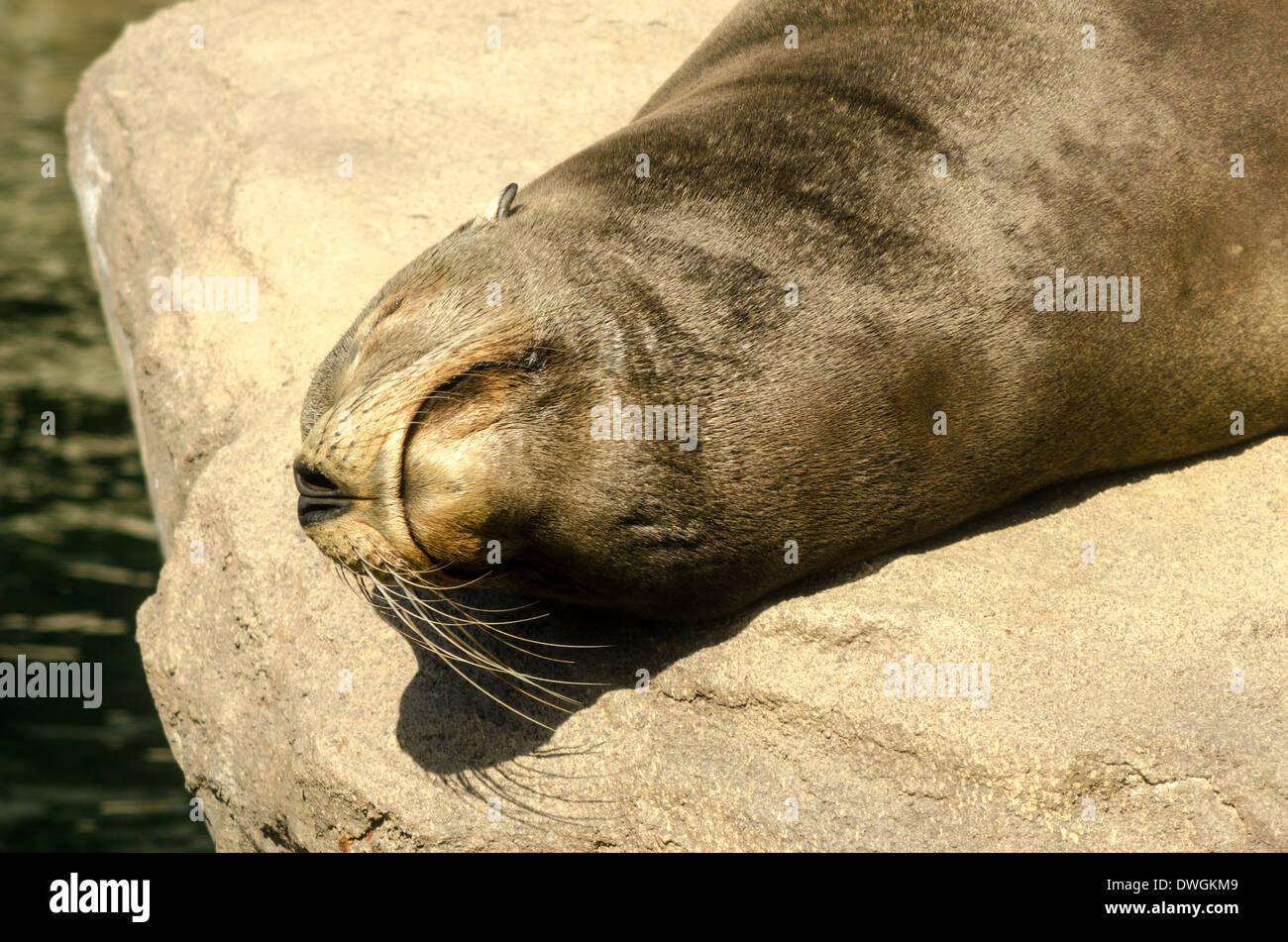 Closeup of the face of a sunbathing sea lion - Stock Image
