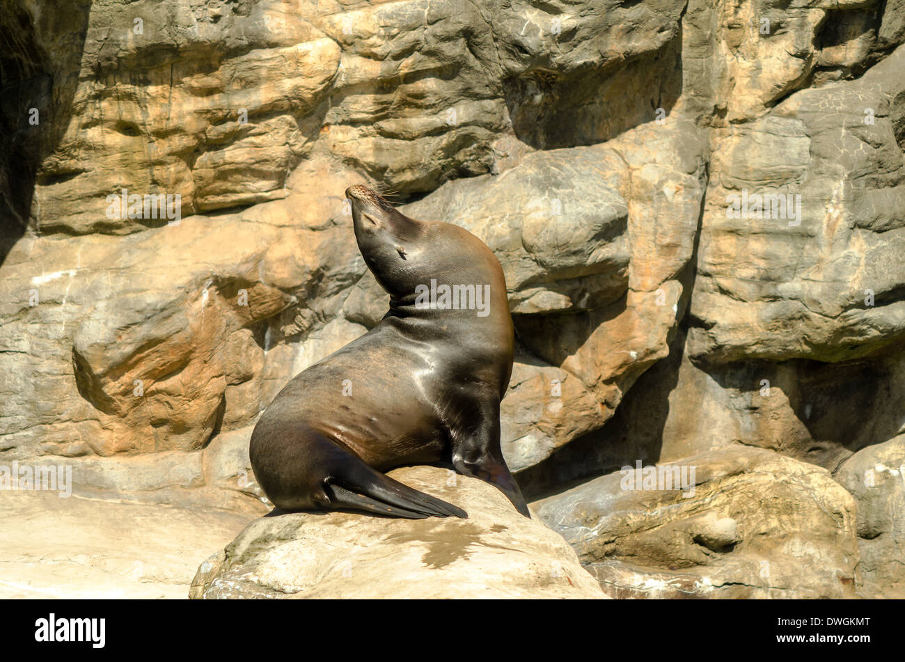A sea lion sitting up enjoying the sun - Stock Image