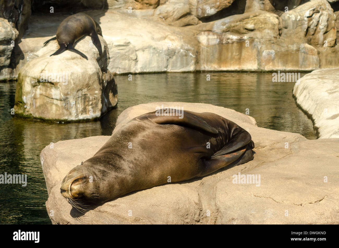 A pair of sea lions relaxing in the sun - Stock Image