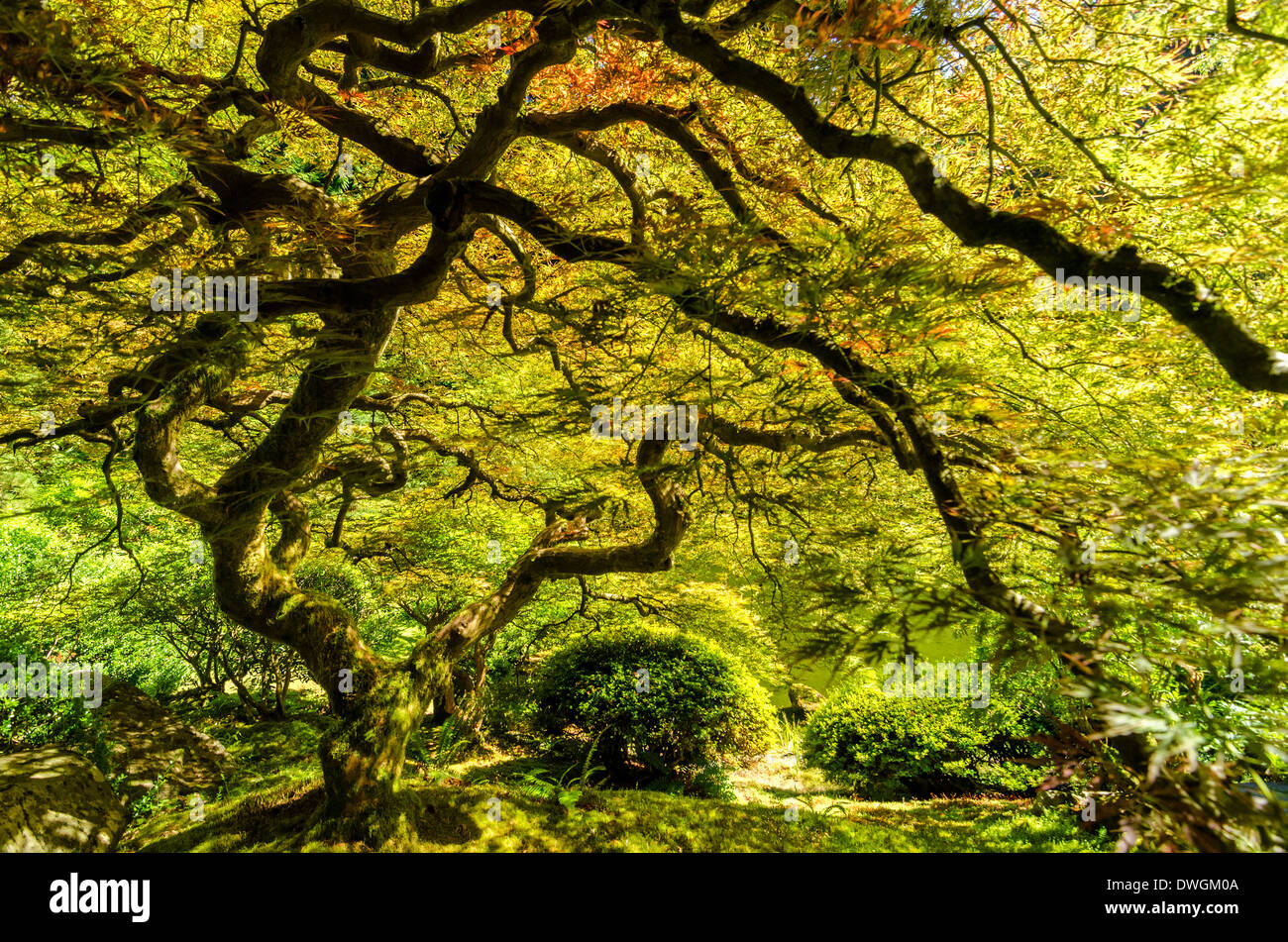 Japanese maple tree in the Japanese Garden in Portland, Oregon - Stock Image