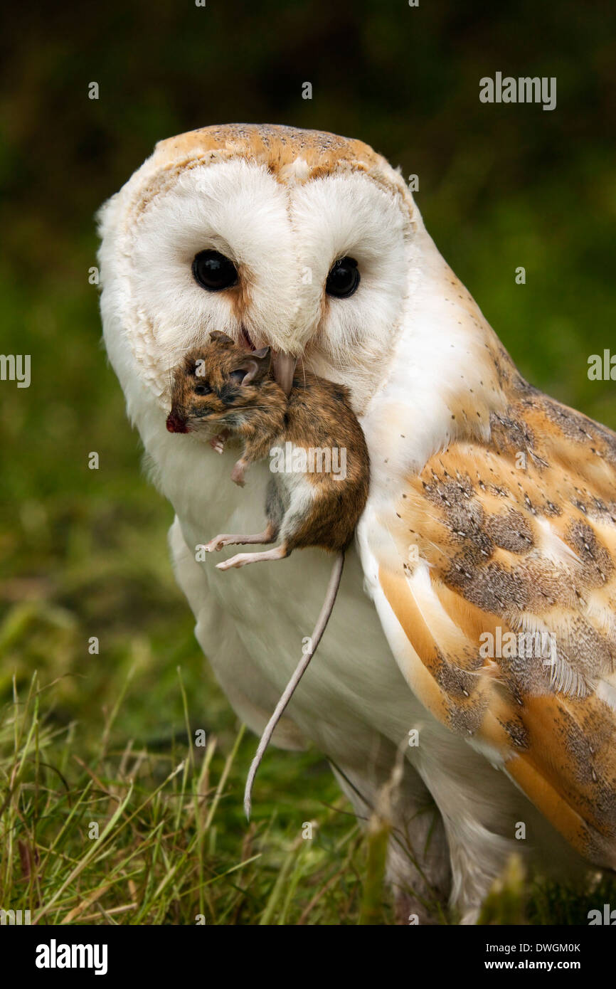 Barn Owl (Tyto alba) with a field mouse in North Yorkshire in the United Kingdom - Stock Image