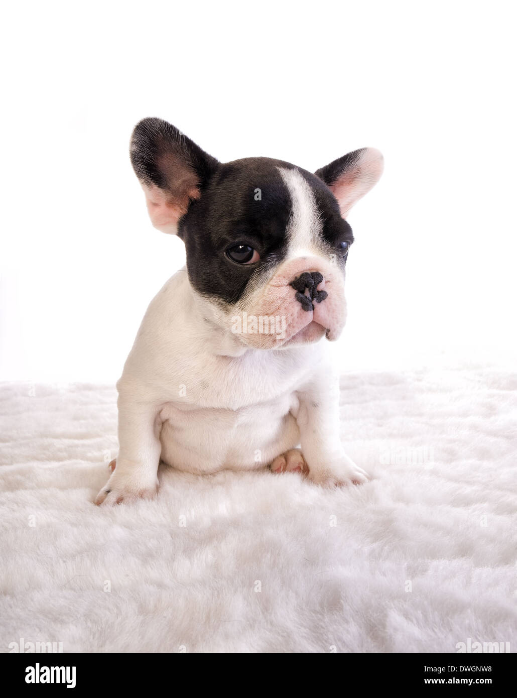 Fat Black And White French Bulldog Puppy On White Stock Photo