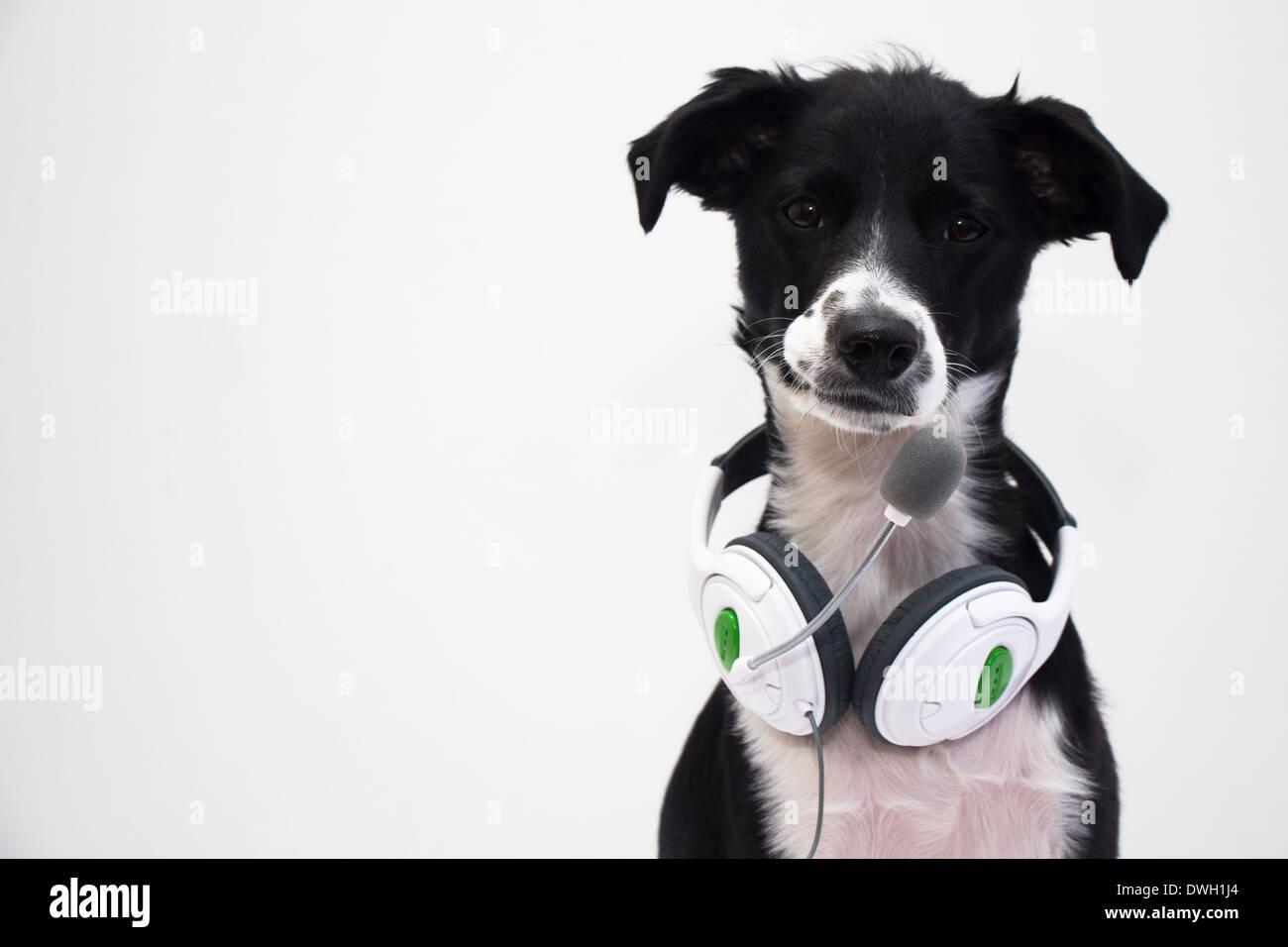 gamer dog with the headphone stock photo 67371980 alamy