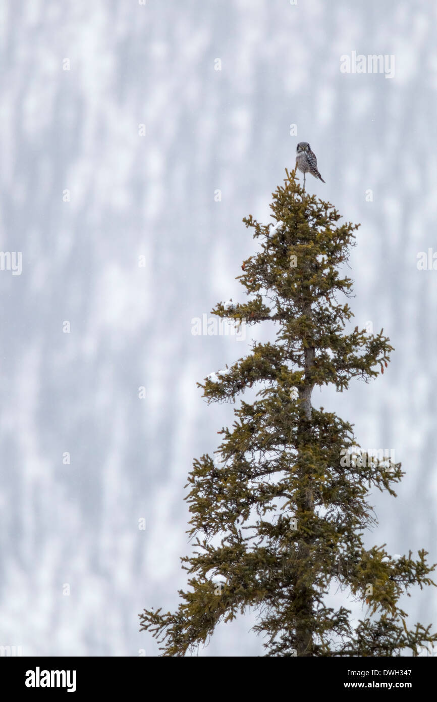 Northern hawk owl Surnia ulula, perched on pine tree in blizzard along Dalton Highway, Alaska in October. - Stock Image