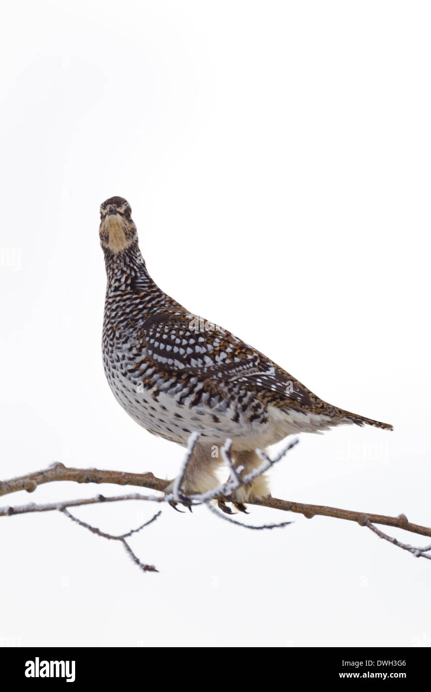 Sharp-tailed grouse Tympanuchus phasianellus, perched in treetop along Dalton Highway, Alaska in October. - Stock Image