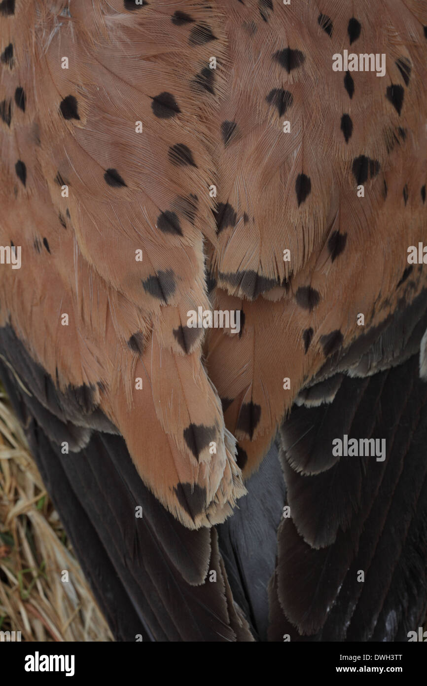 Plumage of an old Common Kestrel (Falco tinnunculus) with outworn feathers - Stock Image