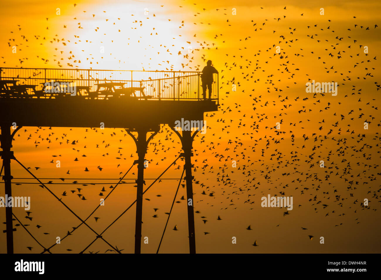 Aberystwyth, Wales, UK. 8th March 2014.   Flocks of starlings fly in to roost on the cast iron legs of the Victorian seaside pier at Aberystwyth on the west wales coast UK.   At the end of a warm sunny day, with temperatures in the UK reaching 18C, people at the end of the pier enjoy the sunset over Cardigan Bay  and the murmuration of the birds  photo Credit: Keith morris/Alamy Live News - Stock Image