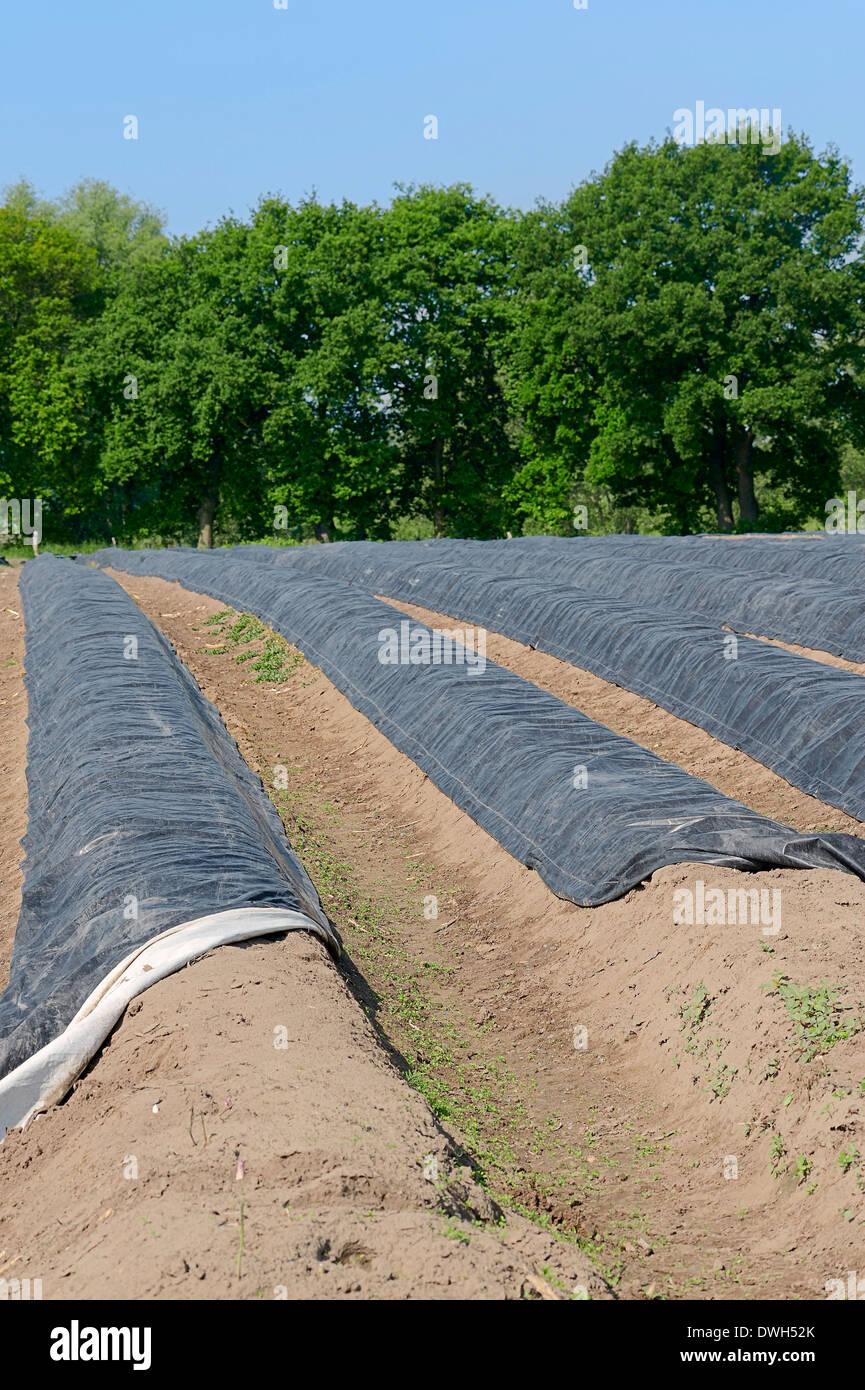 Asparagus field (Asparagus officinalis), North Rhine-Westphalia, Germany - Stock Image