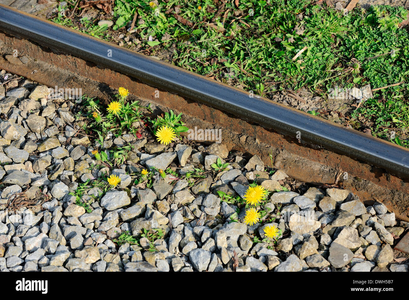 Dandelion (Taraxacum officinale) and railroad track, North Rhine-Westphalia, Germany - Stock Image
