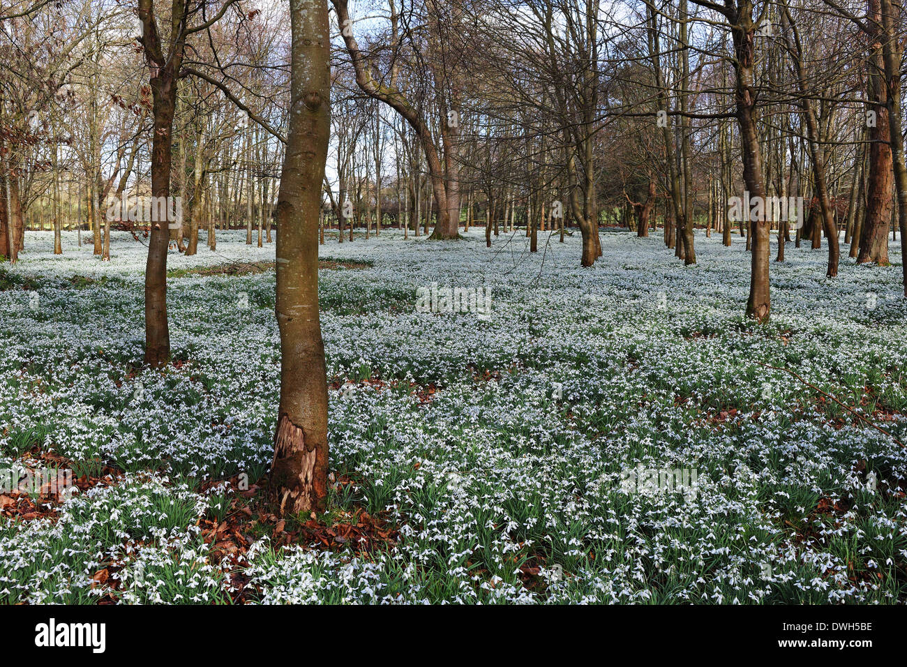 Profusion of Snowdrops in an English Woodland glade - Stock Image