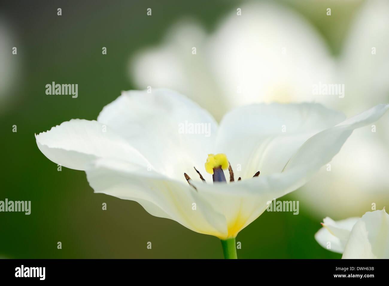 Tulip (Tulipa spec.) - Stock Image