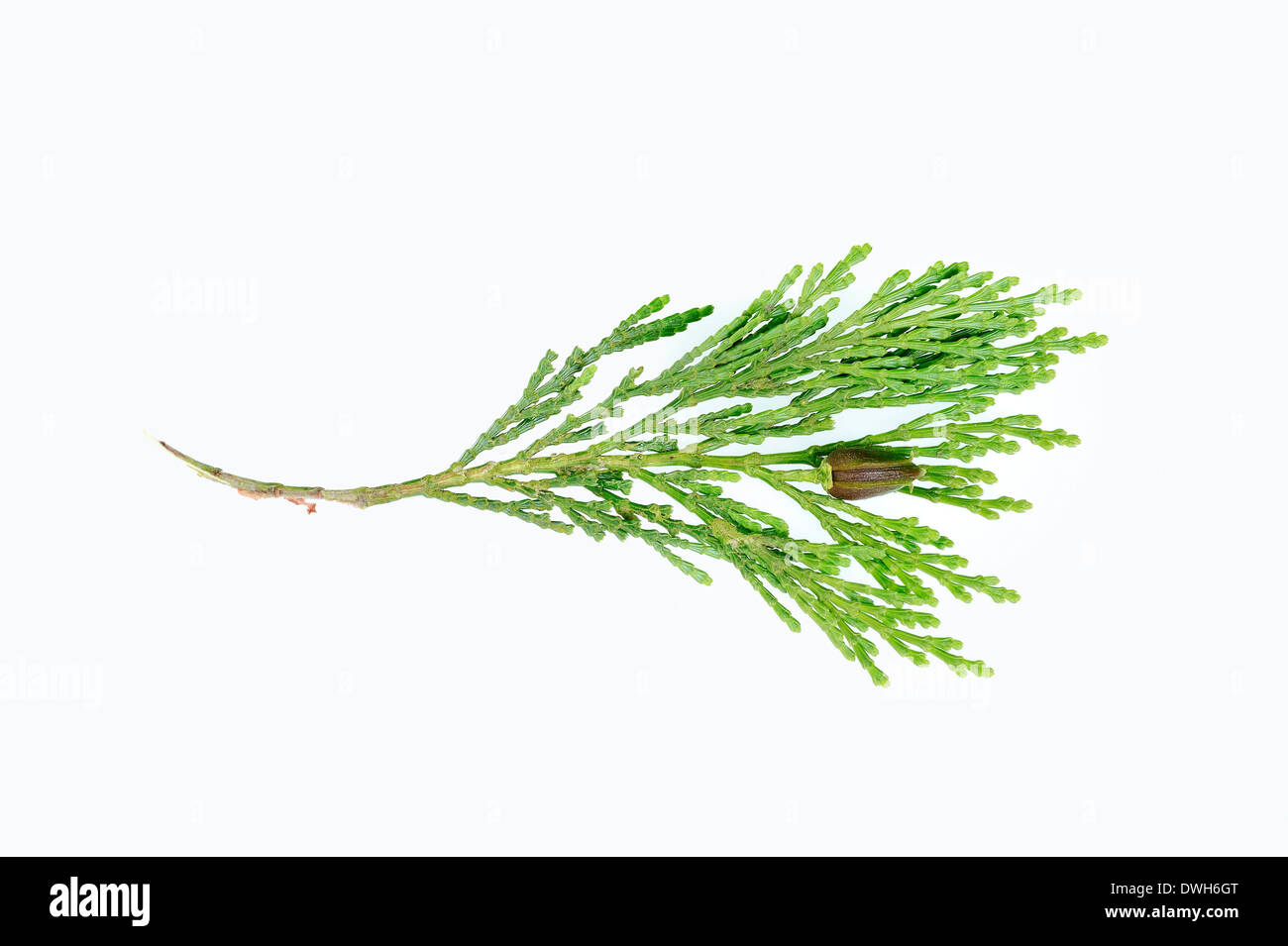 Eastern Arborvitae, American Arborvitae or White Cedar (Thuja occidentalis), twig with cones - Stock Image