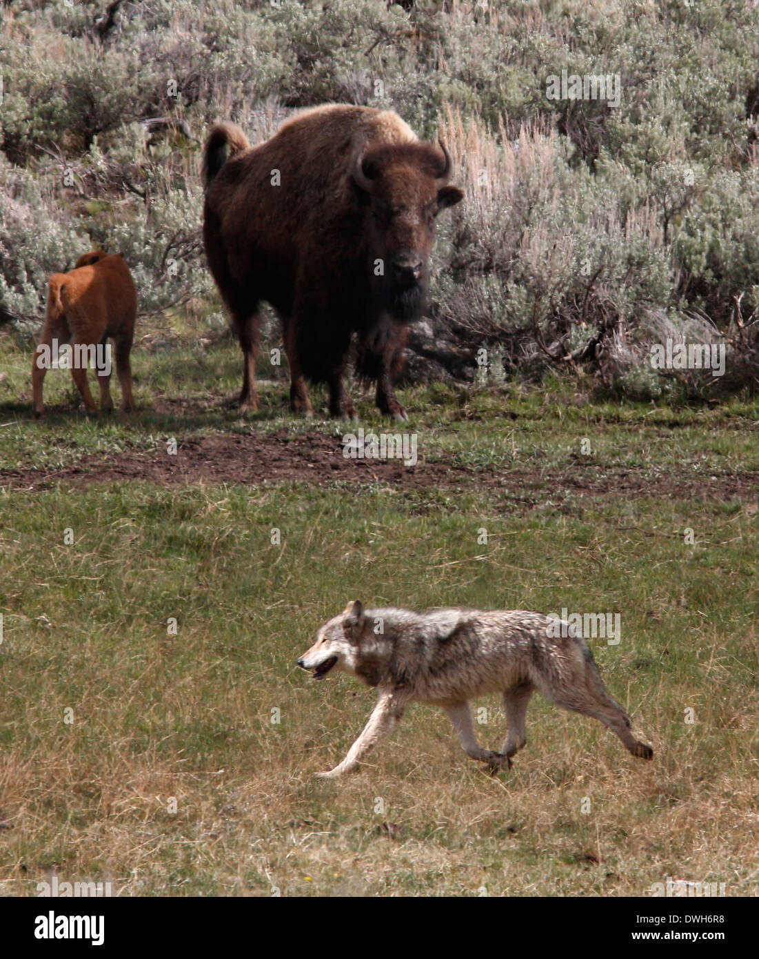 Gray Wolf Hunting Bison With Baby Yellowstone National Park