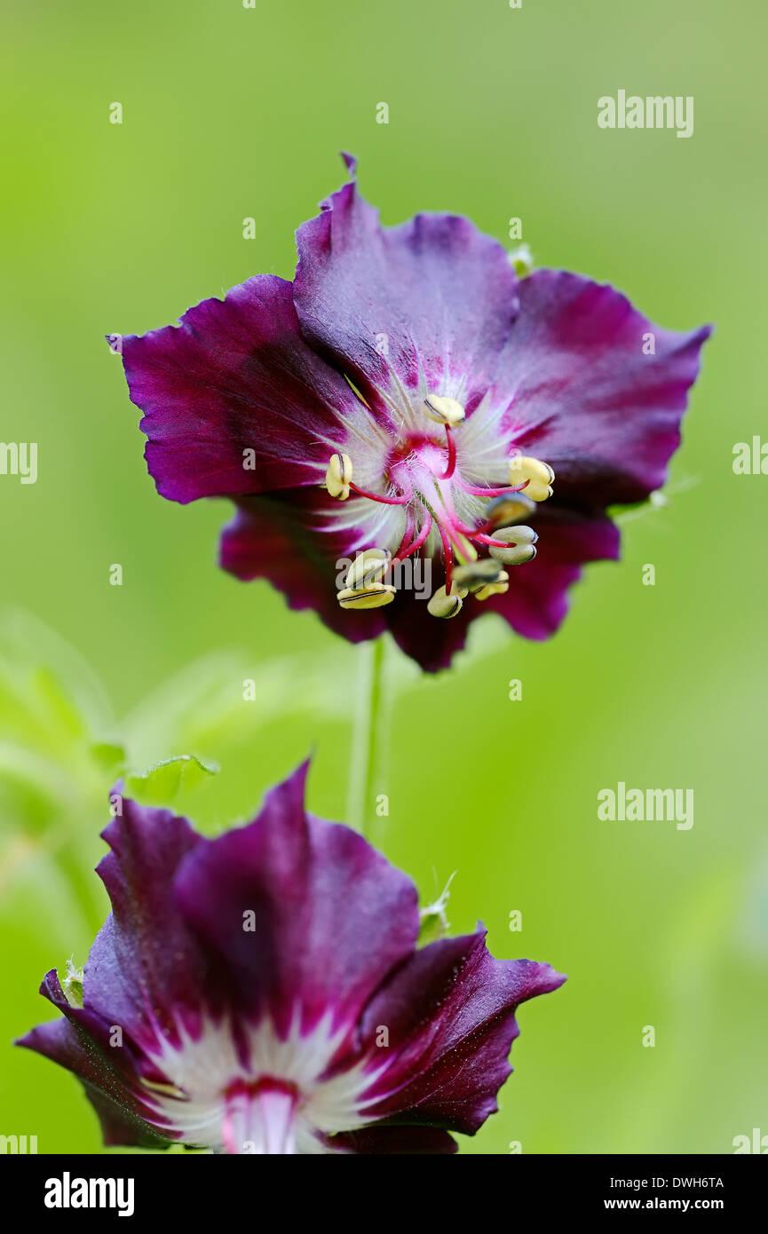 Dusky Cranesbill, Dusky Crane's-bill or Dusky Mourning Widow (Geranium phaeum) - Stock Image