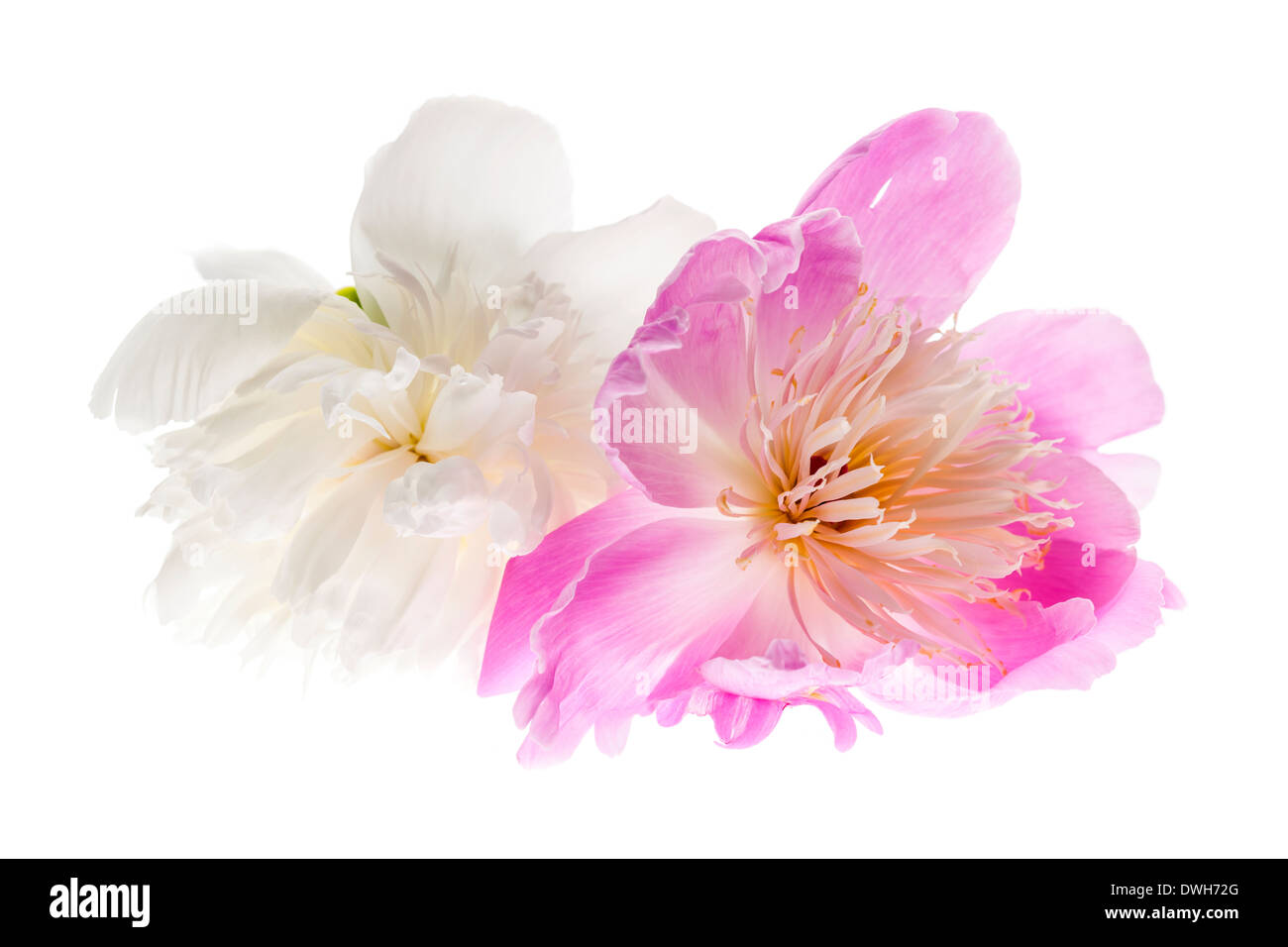 Two peony flowers isolated on white background - Stock Image
