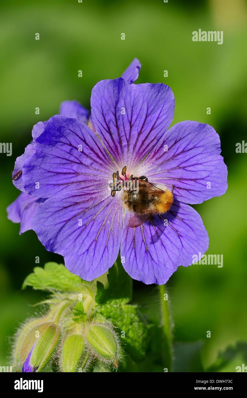 Bumble-Bee (Bombus spec.) on Meadow Cranesbill (Geranium pratense), North Rhine-Westphalia, Germany Stock Photo