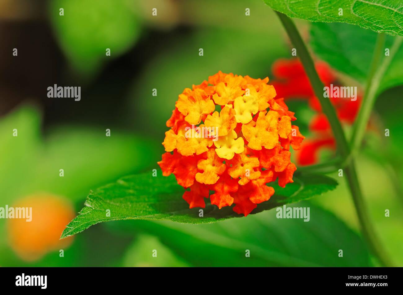 Common Lantana or Shrub Verbena (Lantana camara) - Stock Image