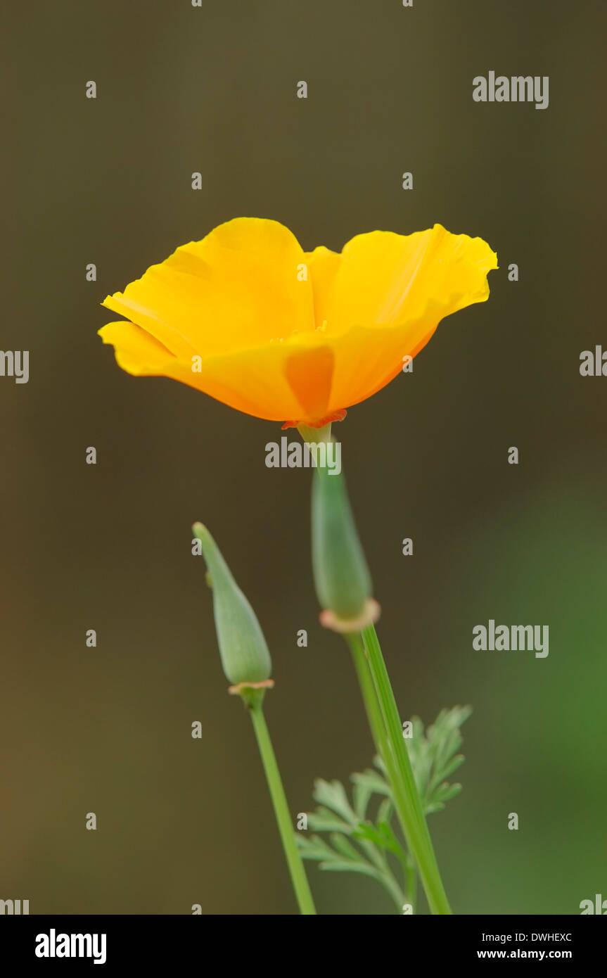 California Poppy, Golden Poppy, California Sunlight, Cup of Gold (Eschscholzia californica) - Stock Image