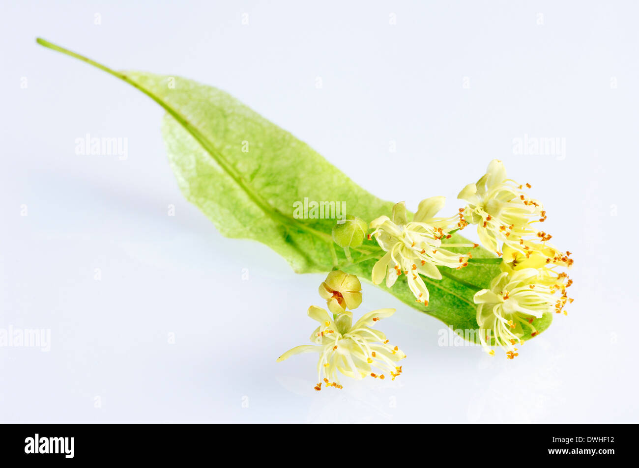 Large-leaved Lime (Tilia platyphyllos), blossoms Stock Photo