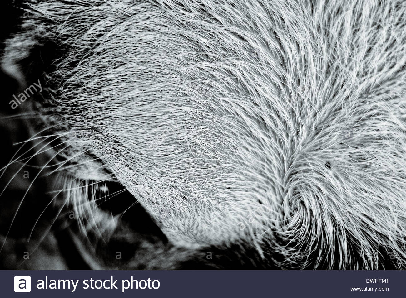 Close up view of the head of a bullock calf, Bangkok, Thailand, South East Asia. - Stock Image