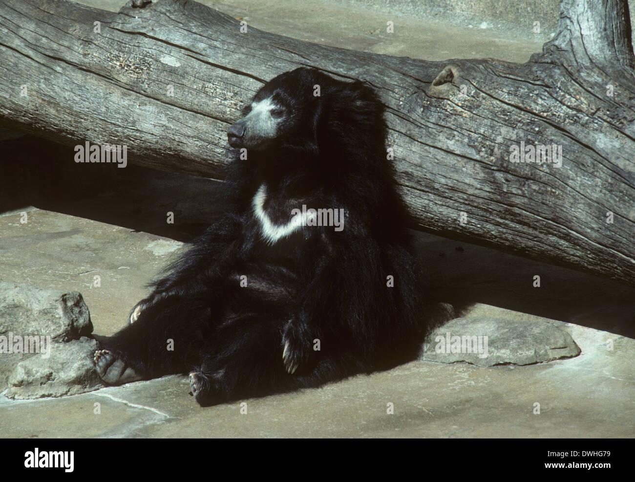 Ceylonese sloth bear, San Diego Zoo., San Diego, California, USA Stock Photo