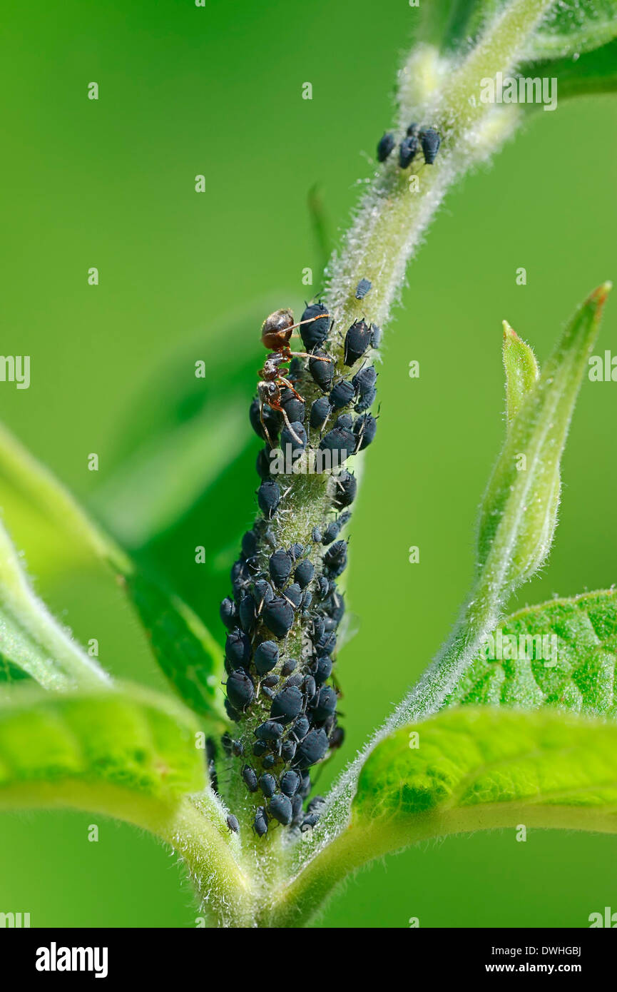 Ant (Formica spec.) and Aphids (Aphis spec.), North Rhine-Westphalia, Germany - Stock Image