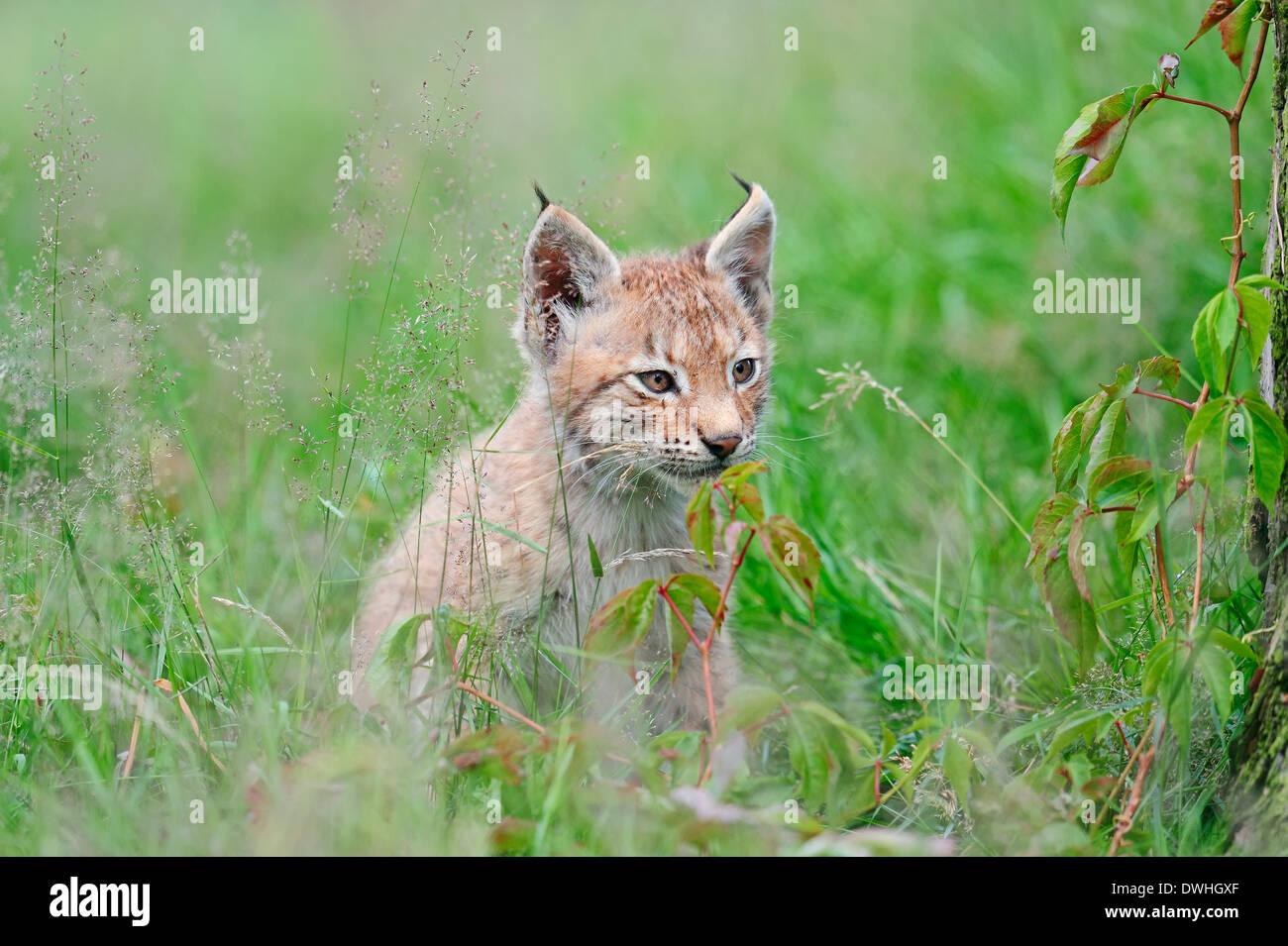 Eurasian Lynx (Lynx lynx), cub Stock Photo