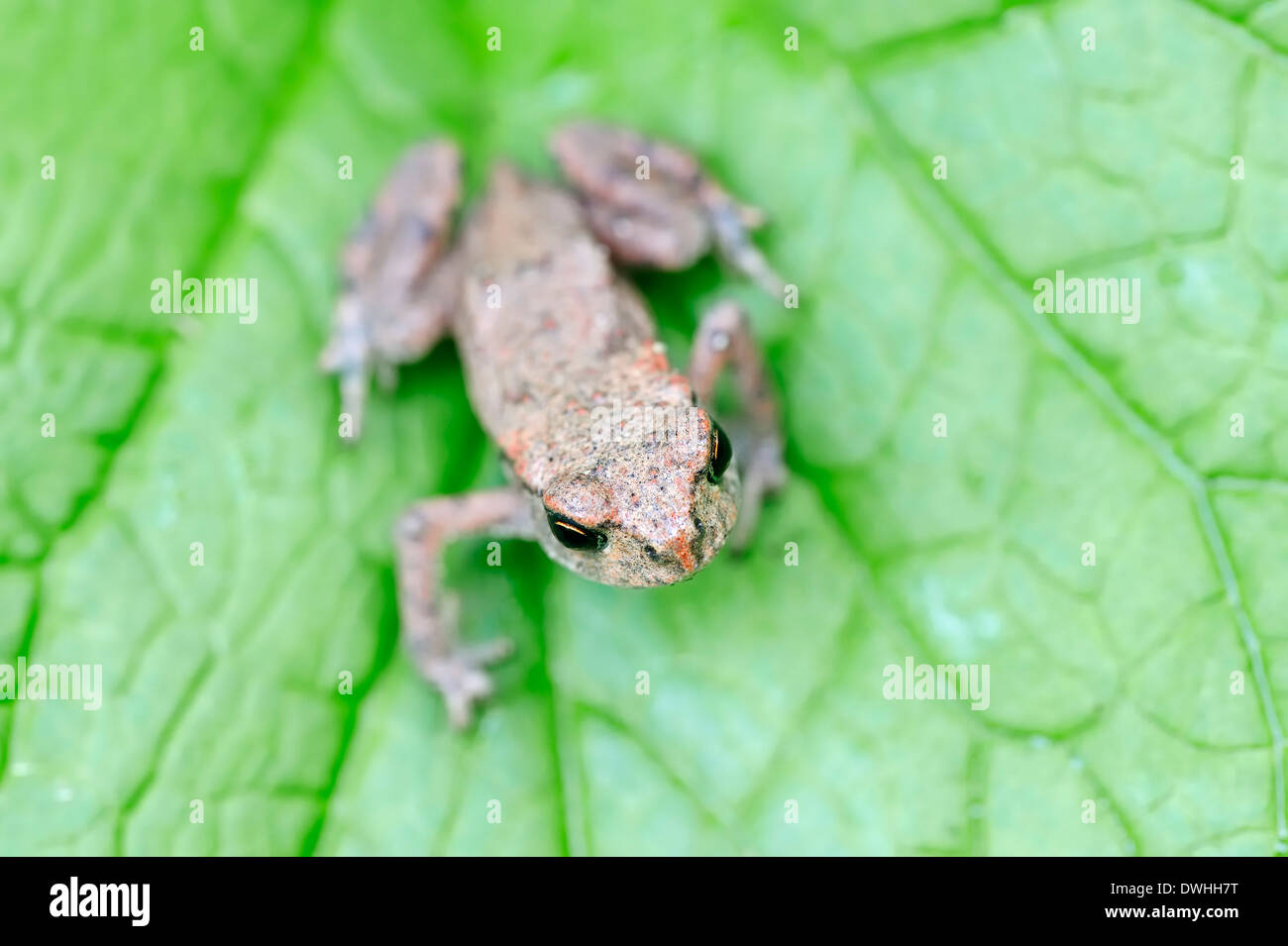 Common Toad or European Toad (Bufo bufo), juvenile, North Rhine-Westphalia, Germany - Stock Image