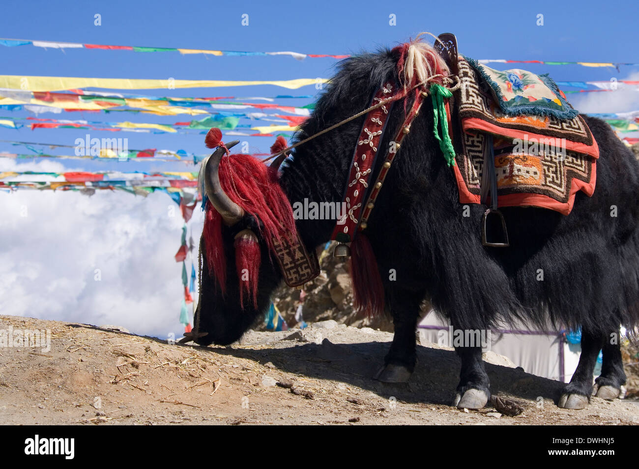 A domesticated yak near Gyantse in the Tibet Autonomous Region of China. - Stock Image