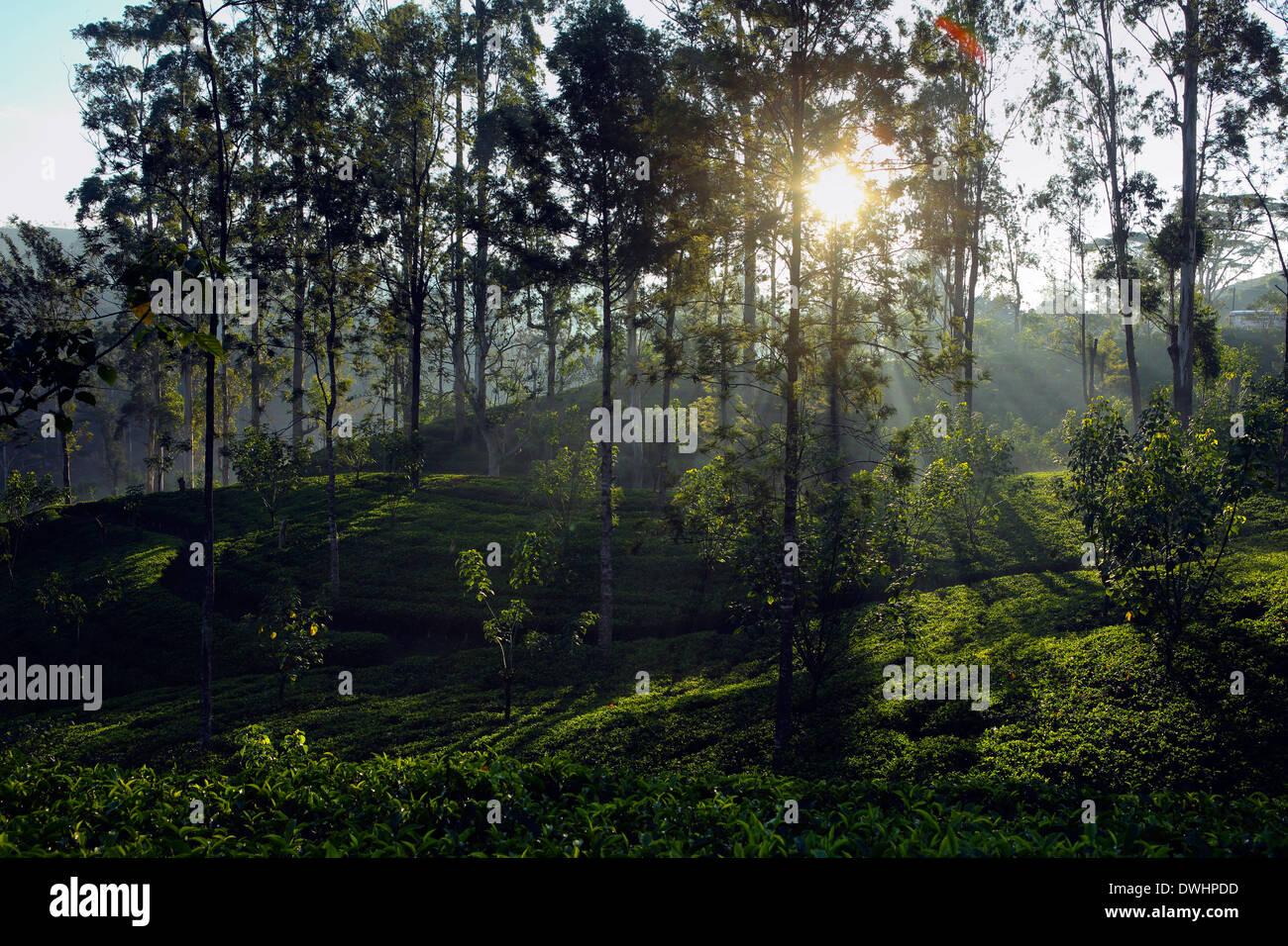 Early morning sun shining through trees in tea estate near Maskeliya in the Sri Lanka highlands - Stock Image