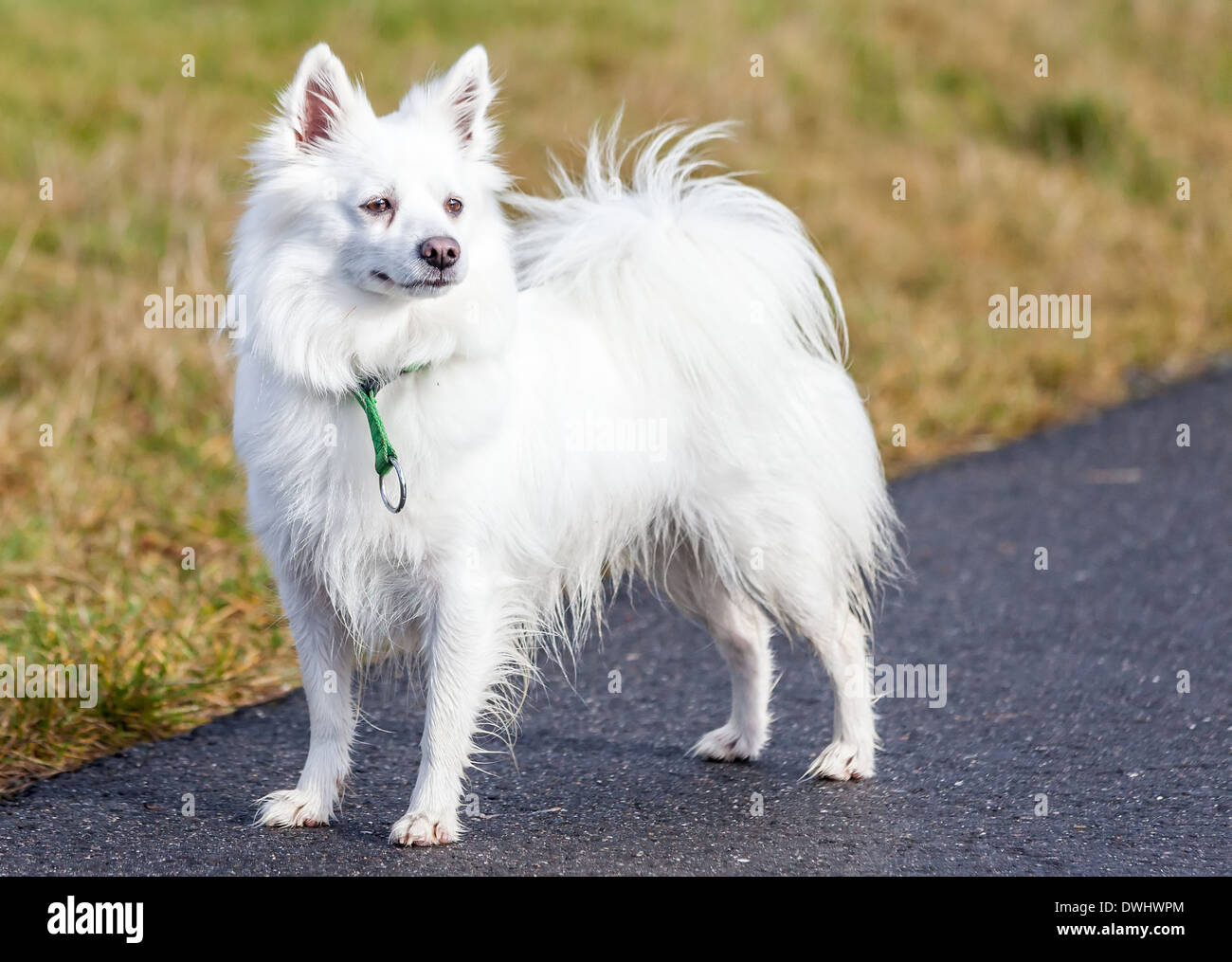 Spitz Dog High Resolution Stock Photography And Images Alamy