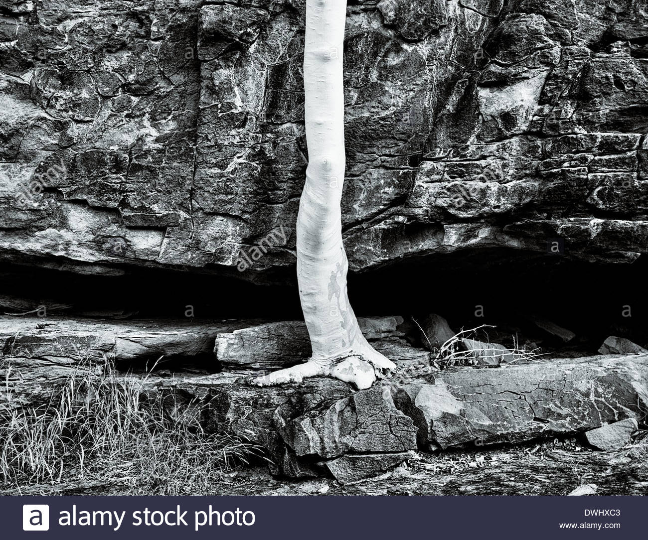 An old ghost gum (Corymbia aparrerinja ) appears to grow straight out of a craggy rock, Victoria, Australia. - Stock Image