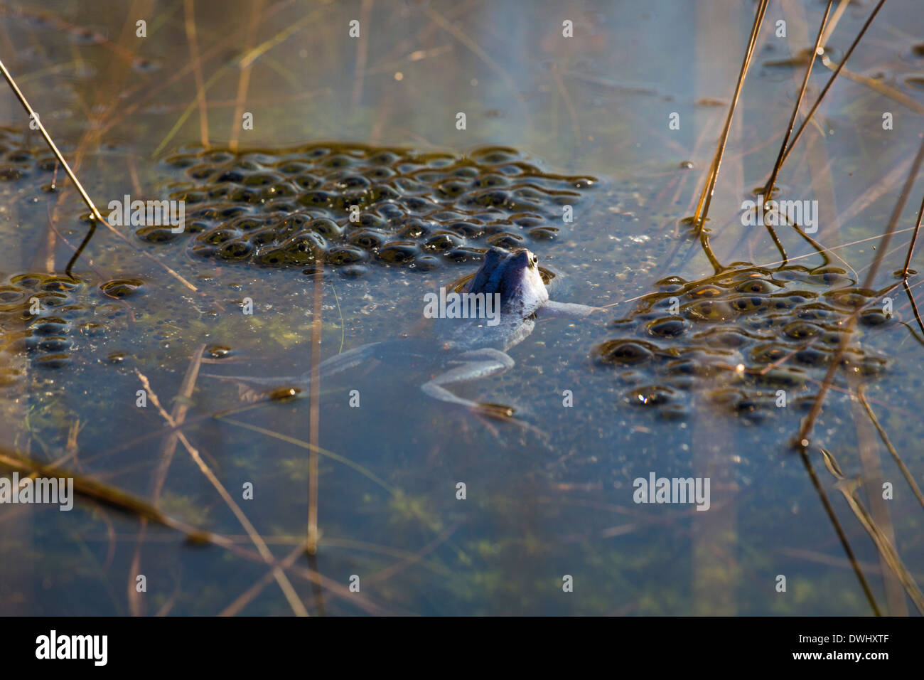 Moor frog (Rana arvalis) swimming in the neighborhood of spawn in a lake. Male moor frogs turn blue during the mating season. - Stock Image