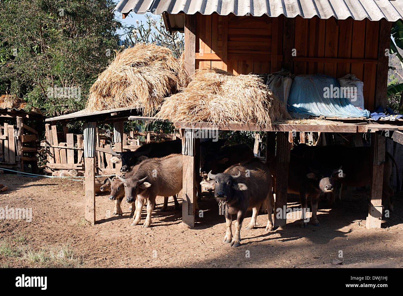 Buffaloes shelter and keep cool under the house away from the sun. - Stock Image