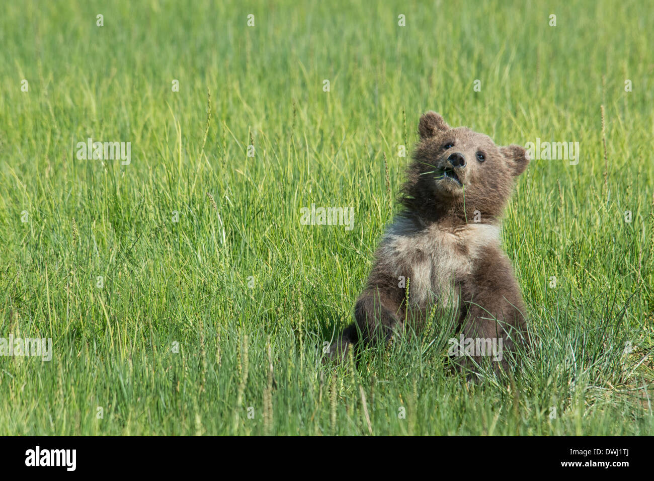 Grizzly Bear Spring Cub with a white collar and spots, Ursus Arctos, eating sedge grass, Lake Clark National Park, Alaska, USA - Stock Image