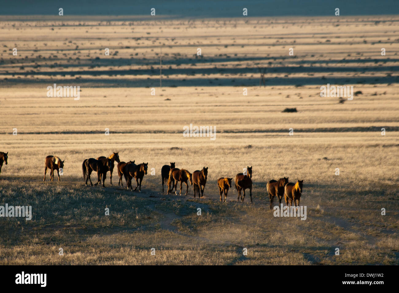 A Herd of Wild Namibian Horses, Equus ferus caballus, walking in a line at the Garub Waterhole at Aus, Namibia, Africa - Stock Image