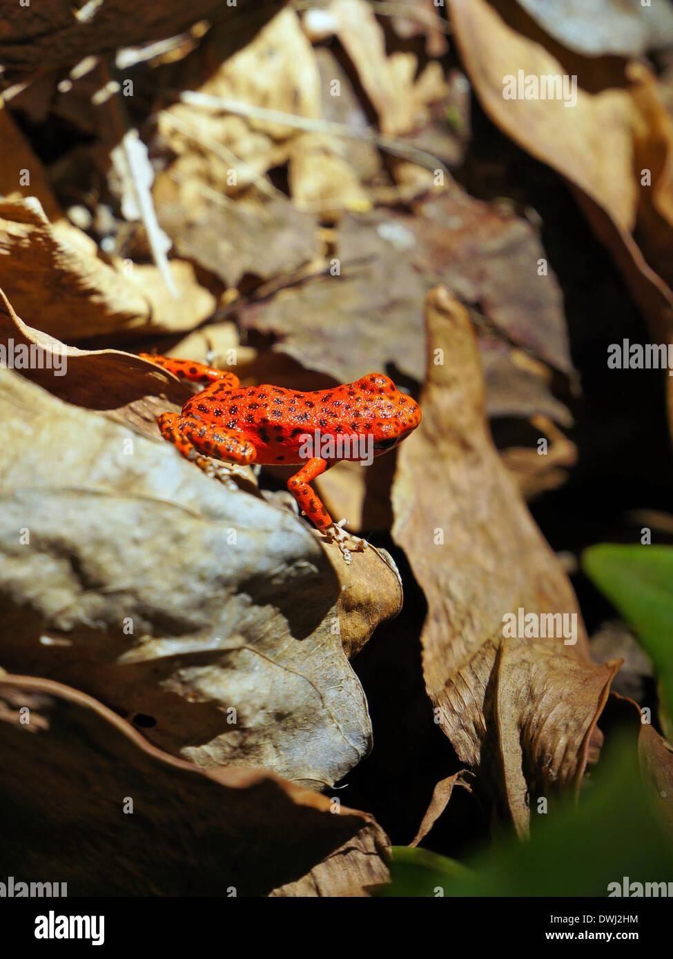 Strawberry poison dart frog, Oophaga pumilio, Bastimentos island, Bocas del Toro, Panama - Stock Image