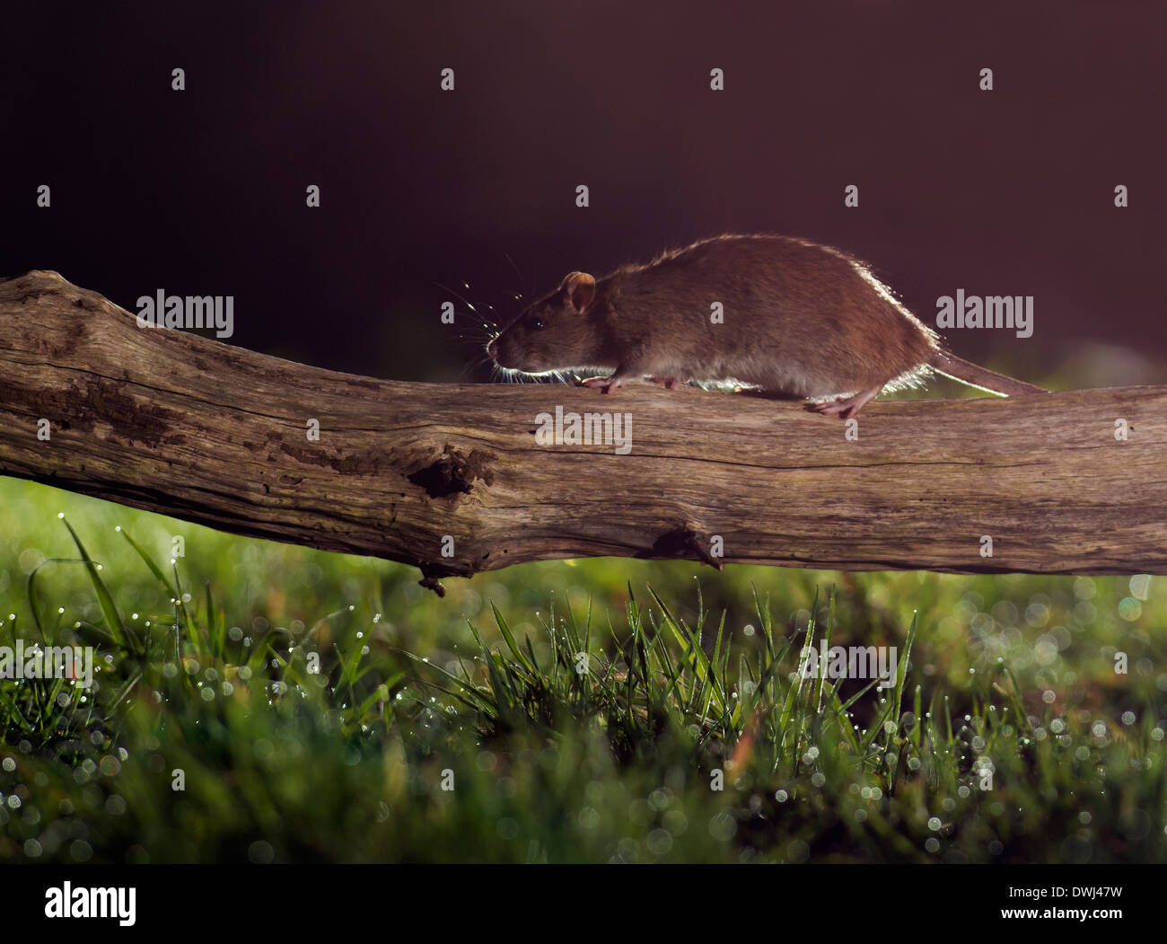 Brown Rat (Rattus norvegicus) running along fallen tree branch at night - Stock Image