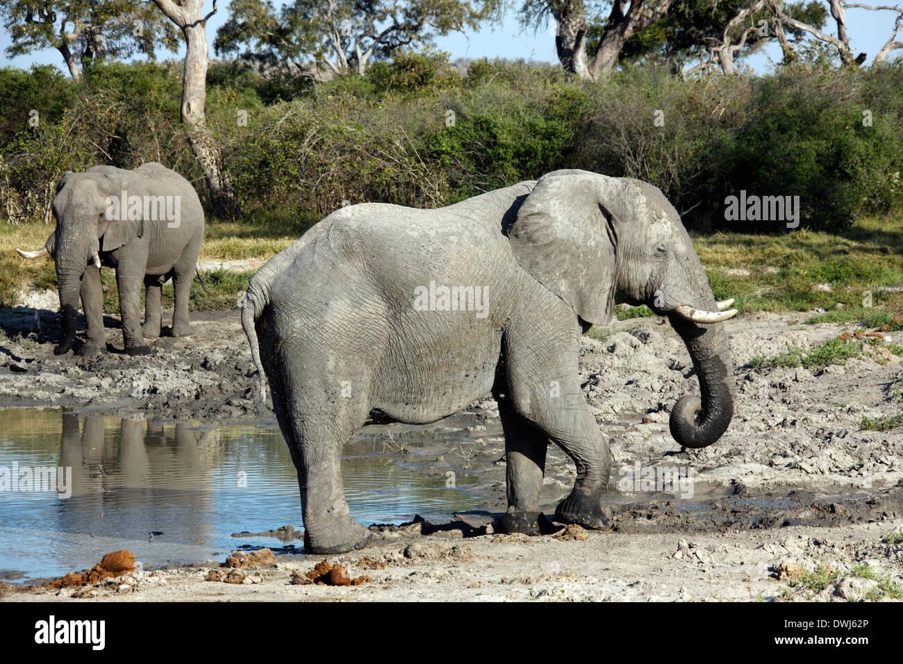 African elephants (Loxodonta africana) drinking at a waterhole in Savuti in Botswana - Stock Image