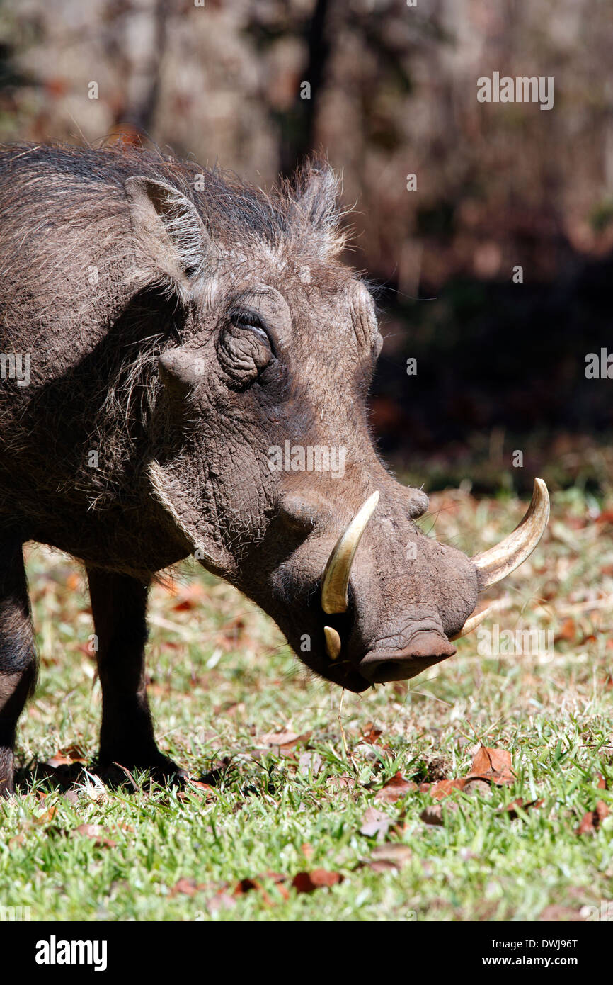 Wathog (Phacochoerus aethiopicus) in the bush in northwest Zimbabwe - Stock Image