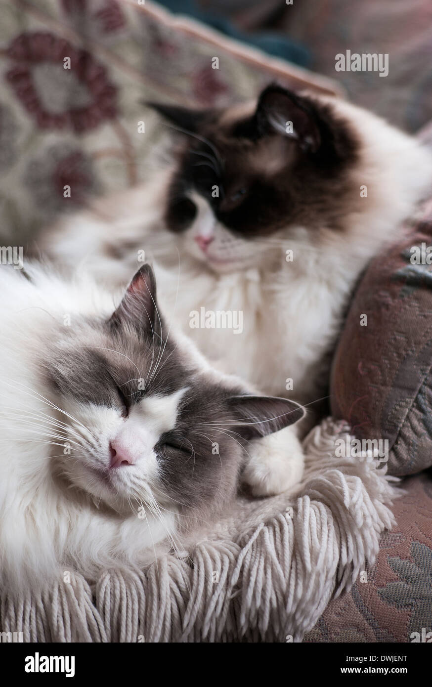 Two sibling Ragdoll cats sharing an easy chair for a nap - Stock Image