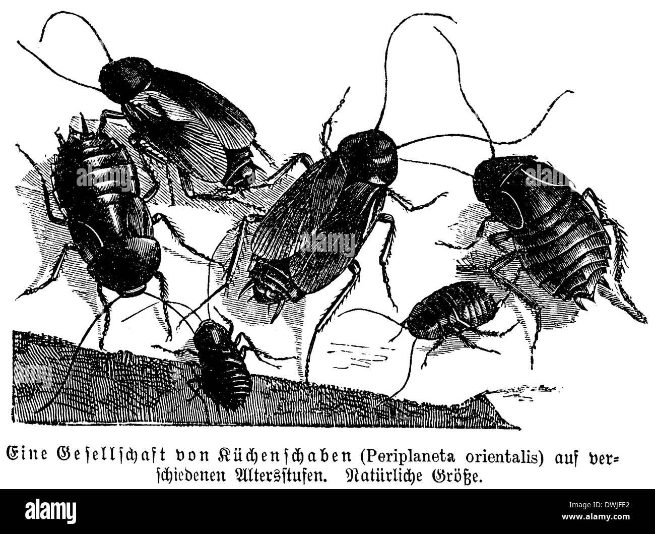 Cockroach Stock Photo 67404794 Alamy