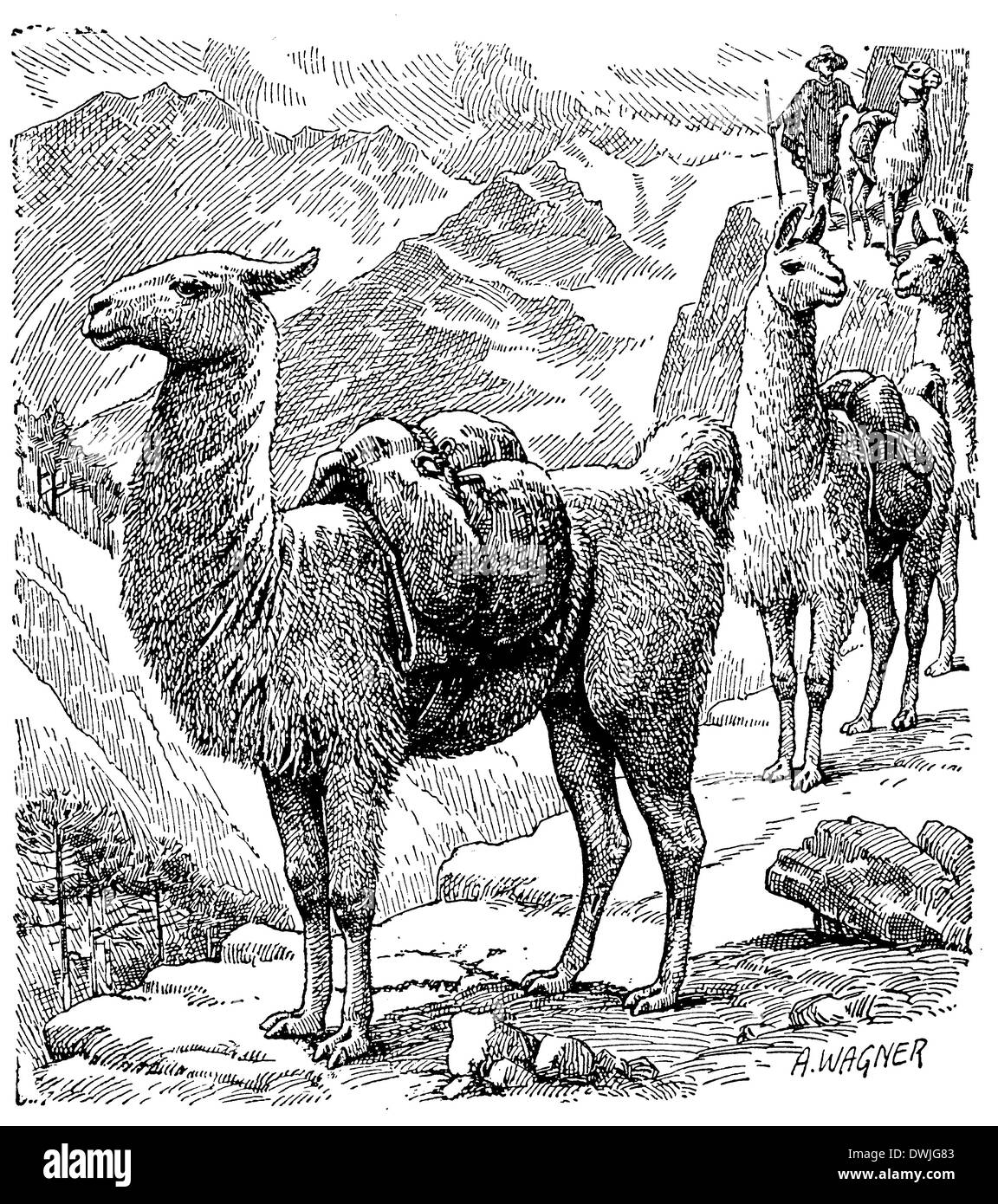 Lama - Stock Image