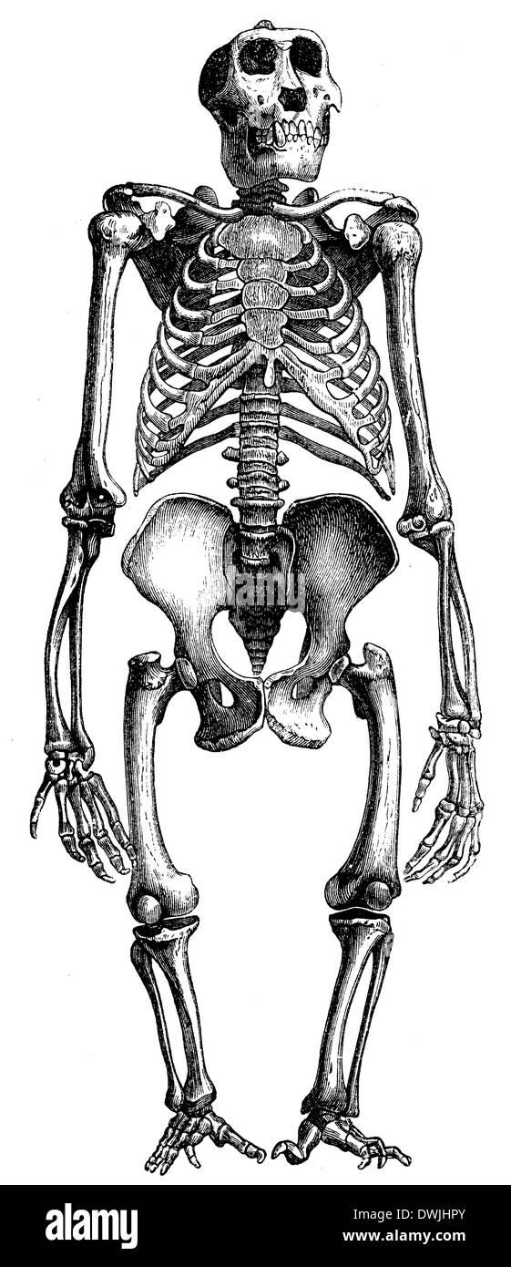 Gorilla: Skelett Stock Photo: 67406611 - Alamy