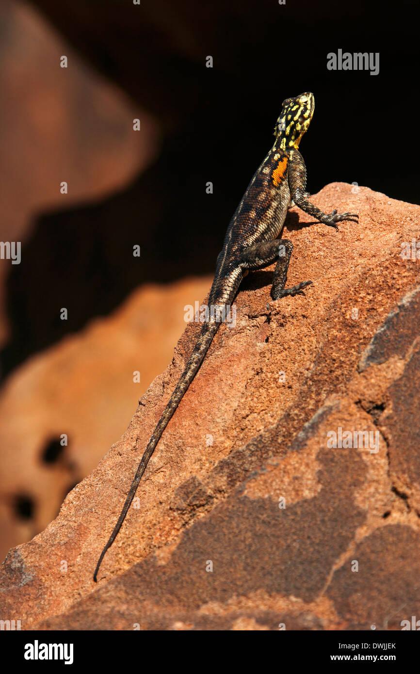Namibian Rock Agama (Agama planiceps) in Damaraland in Namibia - Stock Image