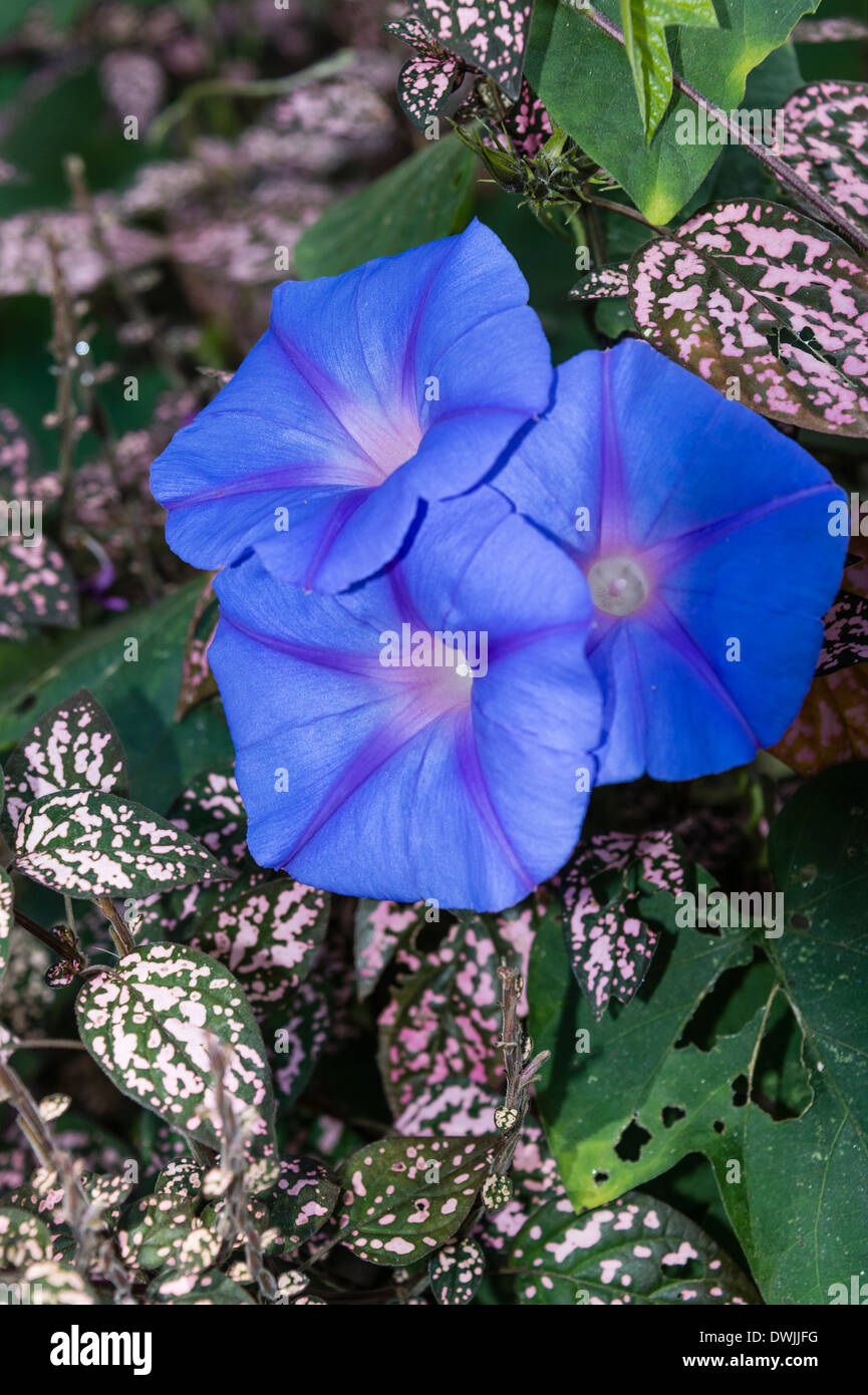 Morning Glory growing the Cameron Highlands - Stock Image